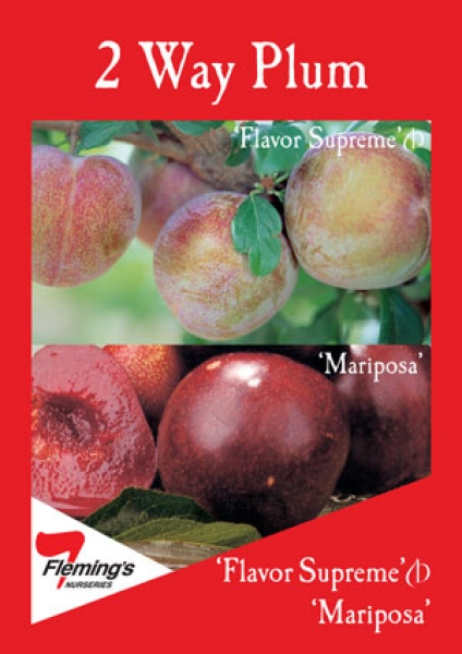 Plum 2 way Mariposa and Flavour Supreme
