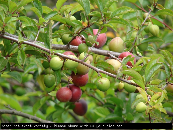 Ripening Plums on Fruit Trees