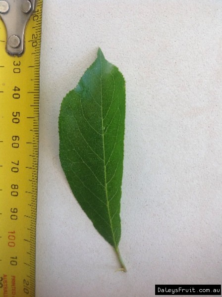 Leaf of the Plum Mariposa