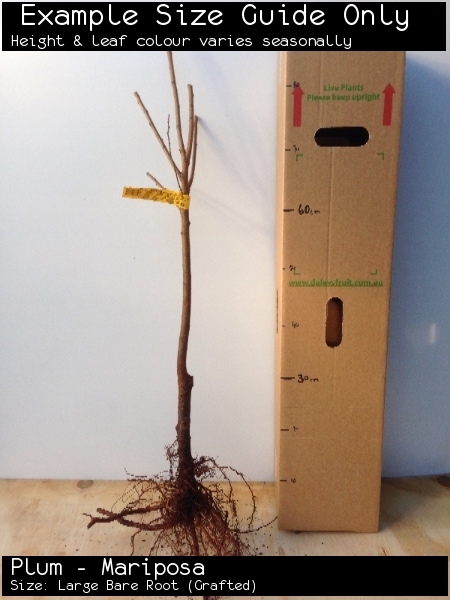 Plum - Mariposa For Sale (Size: Large Bare Root)  (Grafted)