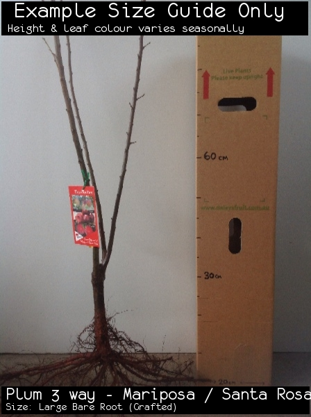 Plum 3 way - Mariposa / Santa Rosa / Flavour Supreme For Sale (Size: Large Bare Root)  (Grafted)