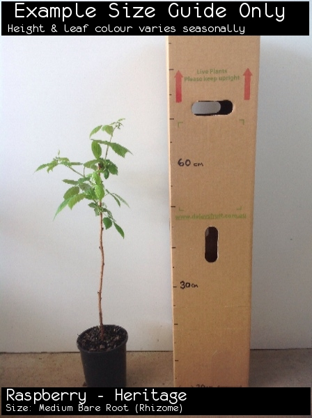 Raspberry - Heritage For Sale (Size: Medium Bare Root)  (Rhizome)