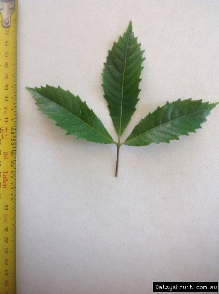 Leaf of the Red Carabeen