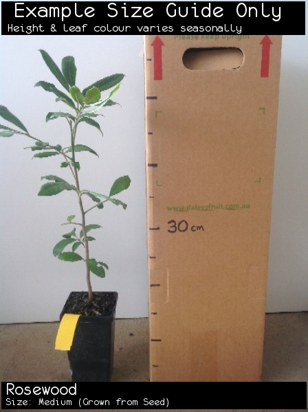 Rosewood For Sale (Size: Medium)  (Grown from Seed)