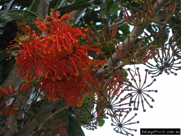 Firewheel Tree