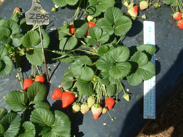 Strawberry Plant Redlands Joy Variety