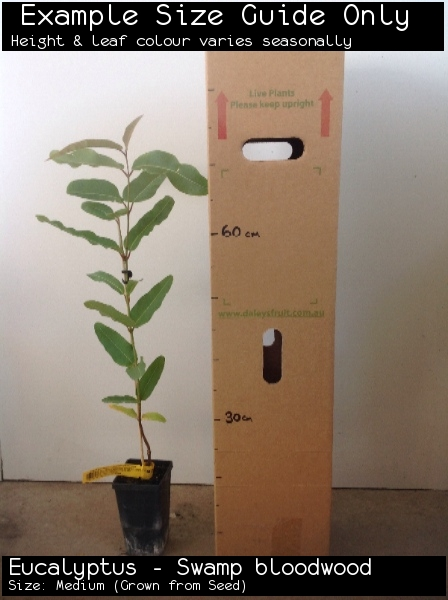 Eucalyptus - Swamp bloodwood For Sale (Size: Medium)  (Grown from Seed)