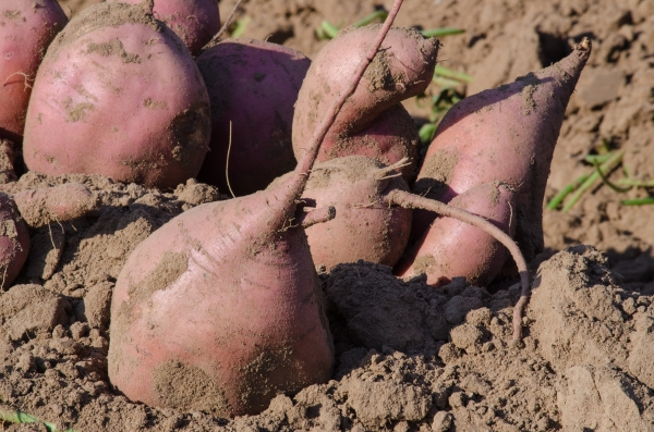Sweet Potato being harvested in the field