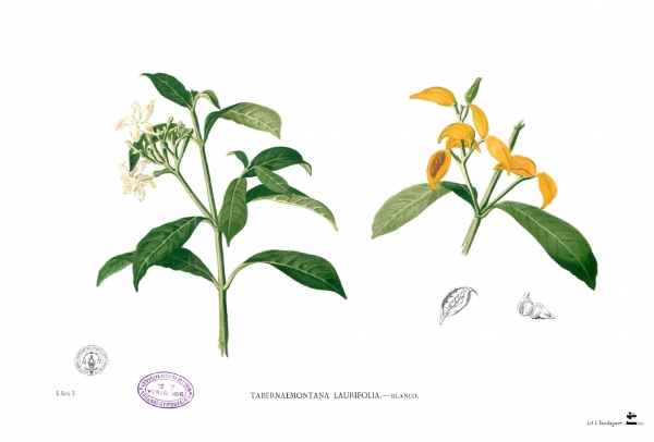 Scientific drawing of Tabernaemontana pandacaqui Blanco1