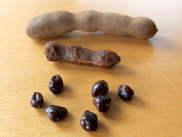 Tamarind fruit with seeds, pulp and pot