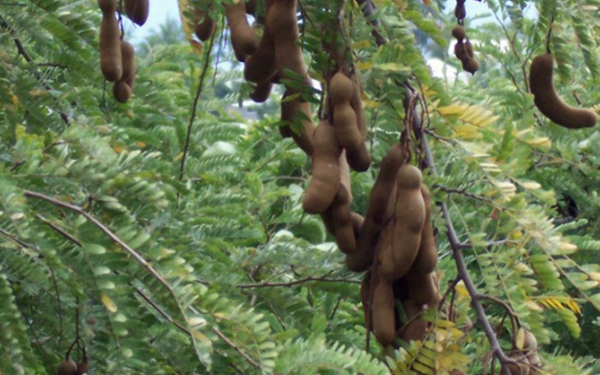 tamarind Fruit and pods growing on the tree by Modified by Crop