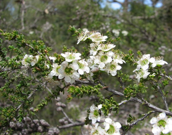 Mozzie Blocker Tree Leptospermum liversidgei flowering