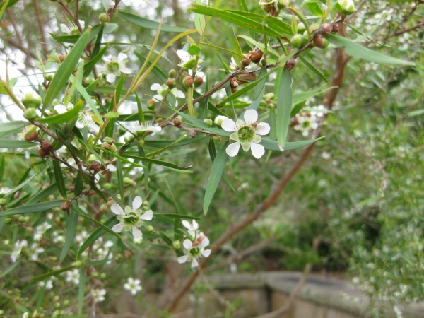 Tea Tree Lemon scented Leptospermum petersonii