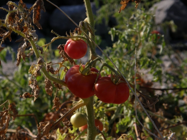 The well known Santorini's cherry tomatoes.