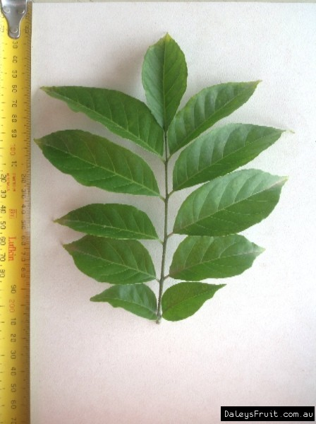 Leaf of the Wampee Guy Sam