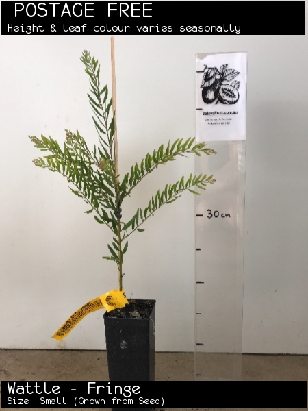 Wattle - Fringe For Sale (Size: Small)  (Grown from Seed)
