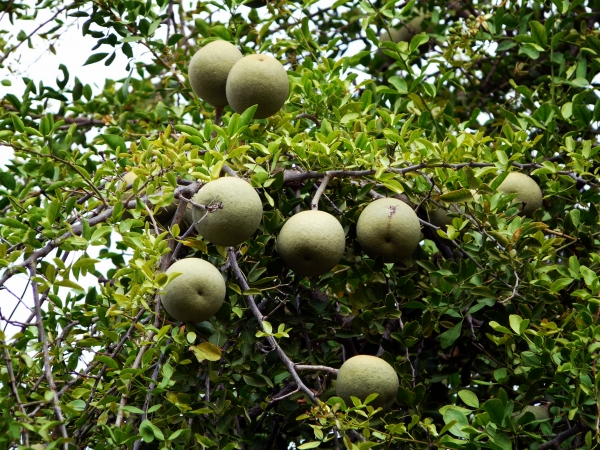 Wood Apple (Feronia limonia) Fruiting on the tree