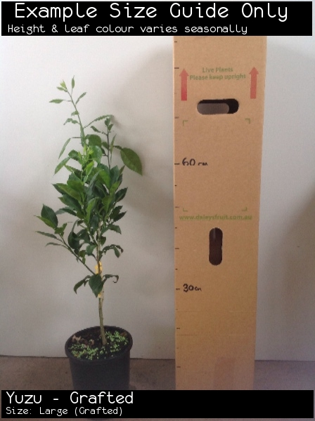 Yuzu - Grafted For Sale (Size: Large)  (Grafted)