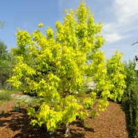Acer negundo Kelly's Gold By Daderot [CC0], from Wikimedia Commons