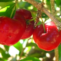 Acerola fruit on tree