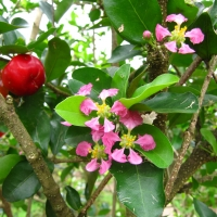 Acerola Flower and Fruit