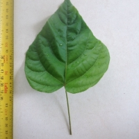 Leaf of the Achiote Bixa