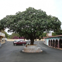 African Breadfruit tree By Atamari [CC BY-SA 3.0  (https://creativecommons.org/licenses/by-sa/3.0)], from Wikimedia Commons