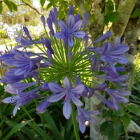 Close up of the Agapanthus purple cloud with their stunning head of purple flowers
