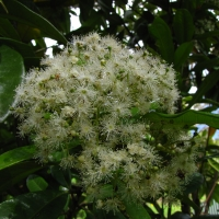Allspice flowers By DaleysFruit.com.au [All Rights Reserved]