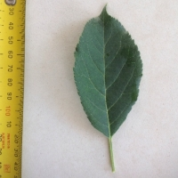 Leaf of the Apple Anna