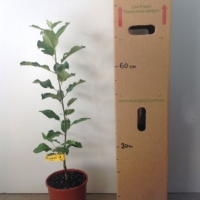 Apple - Dorsett Golden For Sale (Size: Large)  (Grafted)