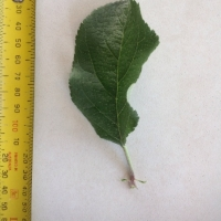 Leaf of the Apple Dorsett Golden