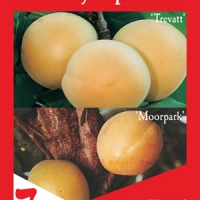 Apricot 2 way Moorpark and Trevatt By Flemings Nurseries [All Rights Reserved, Supplier of DaleysFruit.com.au]