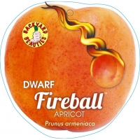 Dwarf Apricot Tree Fireball By PlantNet [All Rights Reserved, Supplier of DaleysFruit.com.au]