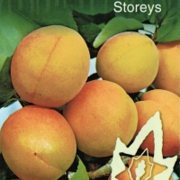 Apricot Storeys Fruit from norwood planter tag and JFT Nurseries By JFT Nurseries [All Rights Reserved, Supplier of DaleysFruit.com.au]