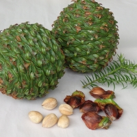 Bunya Nut By DaleysFruit.com.au [All Rights Reserved]