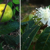 Eugenia stipitata the Guayaba AmazonicaAlso known as Araza. Photos from near the Amazon River east of Tabatinga Brazil