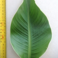 Leaf of the Arrowroot