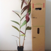 Native Ginger - Atherton Red Back For Sale (Size: Medium)  (Grown from Seed)
