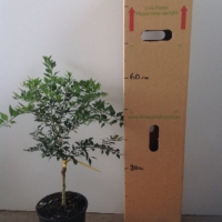 Australian Round Lime For Sale (Size: Large)  (Grafted)