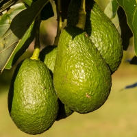 Hass Avocado Fruit Developing on Fruit Tree By sandid [CC0 1.0 (https://creativecommons.org/publicdomain/mark/1.0/)]