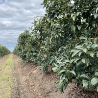 Hass Avocados at Bundaberg. Note mound planting Hard pruning to keep trees under 4mts. Trees produced 24tonne per Hectare in 2019 By DaleysFruit.com.au [All Rights Reserved]