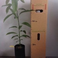 Avocado - Reed Seedling For Sale (Size: Large)  (Grown from Seed)