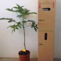 Babaco (Grafted) For Sale (Size: Large)  (Grafted)