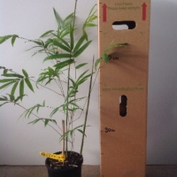 Bamboo Gracilis For Sale 165mm pot
