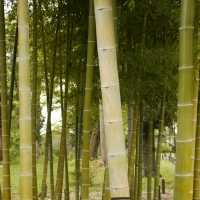 Bamboo by Hikosaemon By Hikosaemon [CC BY 2.0 (https://creativecommons.org/licenses/by/2.0/)] via Flickr https://flic.kr/p/9DdHJw