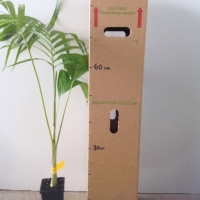 Palm - Bangalow  For Sale (Size: Medium)  (Grown from Seed)