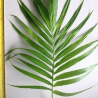 Leaf of the Bangalow Palm
