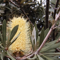 Banksia integrifolia prostrate By No machine-readable author provided. Casliber assumed (based on copyright claims). [Public domain] via Wikimedia Commons