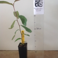 Banksia - Swamp  For Sale (Size: Small)  (Grown from Seed)